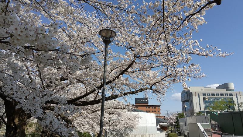桜と郡山市役所