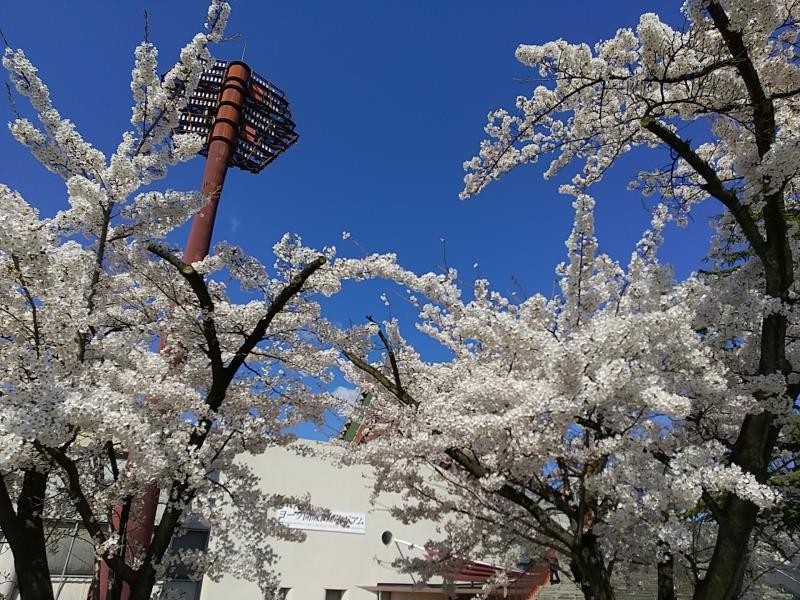 総合運動場の入口付近の桜