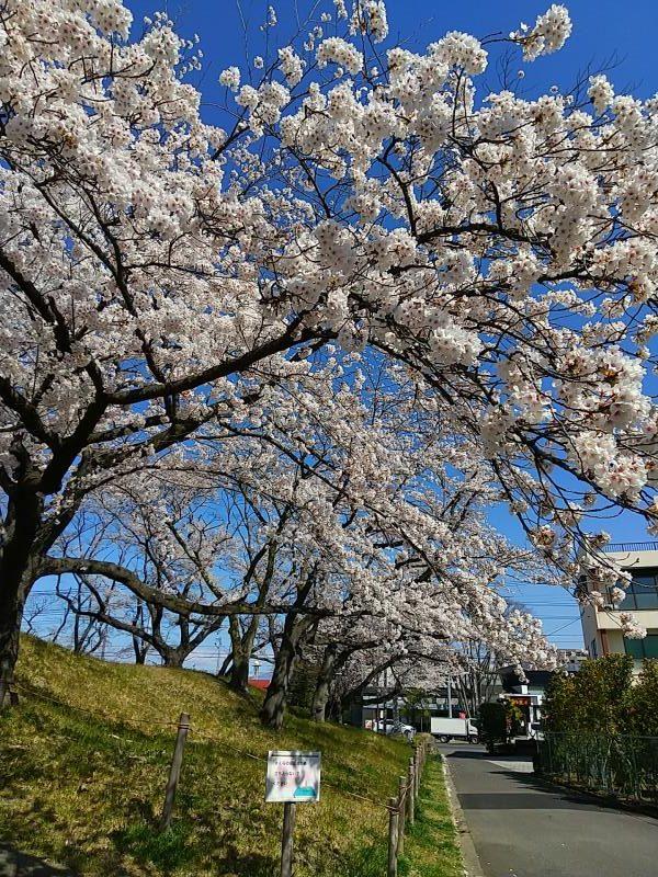 開成山陸上競技場の北東部で咲いた桜