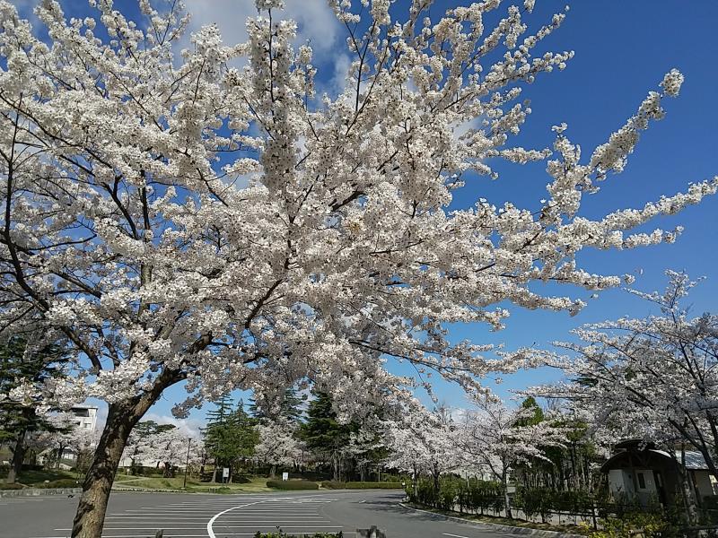 駐車場の周囲で咲いた桜