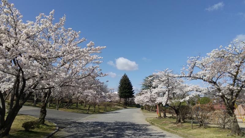 五十鈴湖の南側で咲いた桜