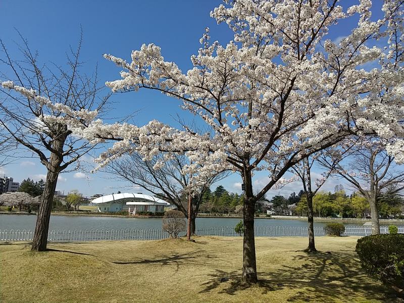 五十鈴湖の周りにある桜