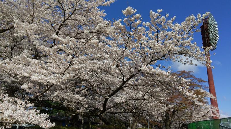 ヨーク開成山スタジアムの西側にある桜の木